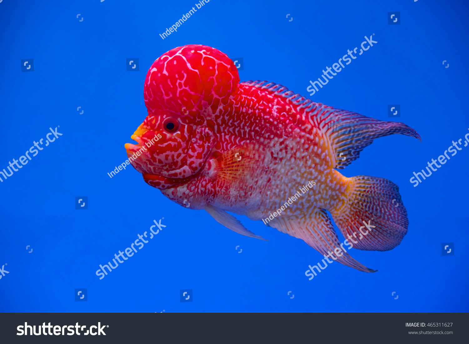 Flowerhorn Cichlid Fish Aquarium Colorful Fish Stock Photo (Royalty ...