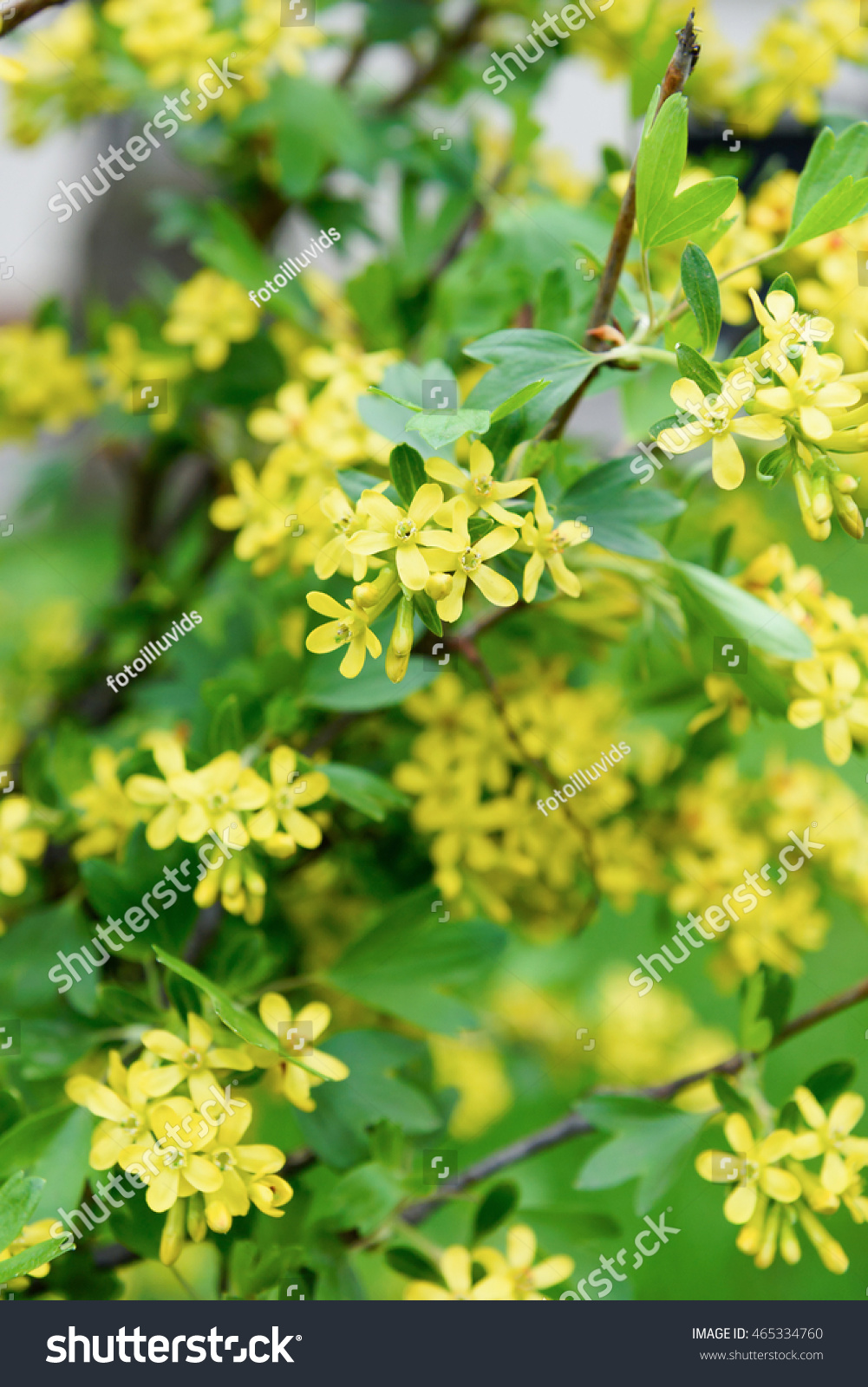 Yellow Flowers Golden Buffalo Currant Ribes Stock Photo Edit Now