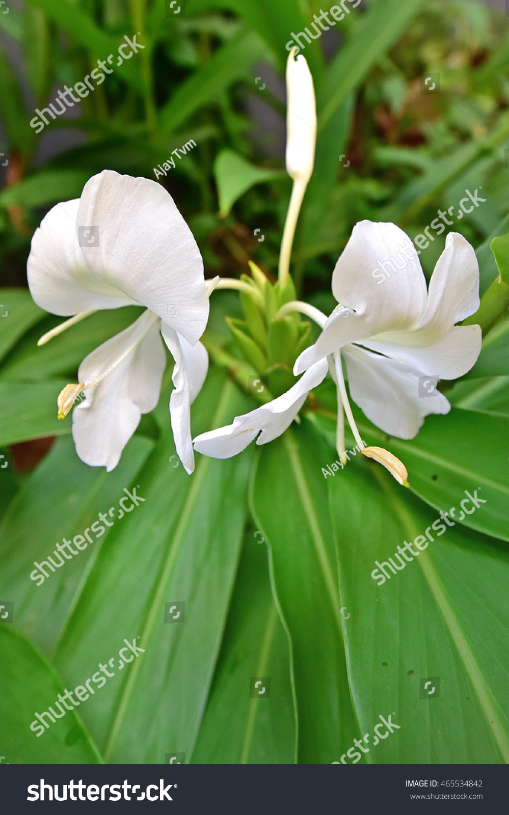 Hedychium coronarium ginger lily white butterfly stock photo edit hedychium coronarium ginger lily white butterfly ginger lily with white sweet smelling mightylinksfo