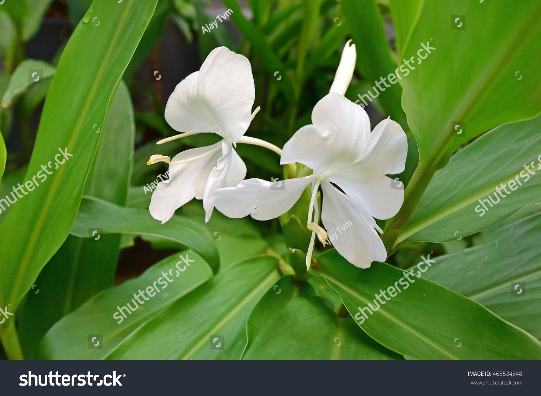 Hedychium Coronarium Ginger Lily White Butterfly Stock Photo Edit
