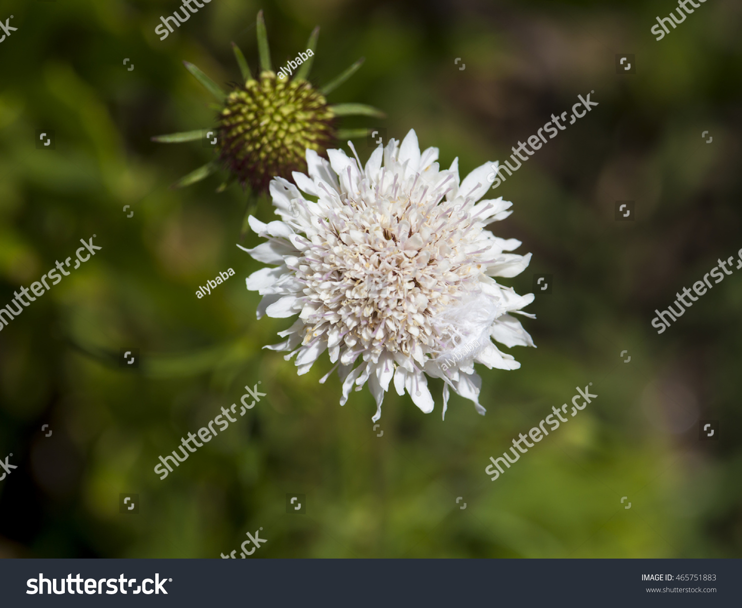 Dainty White Scabiosa Columbaria Genus Honeysuckle Stock Photo