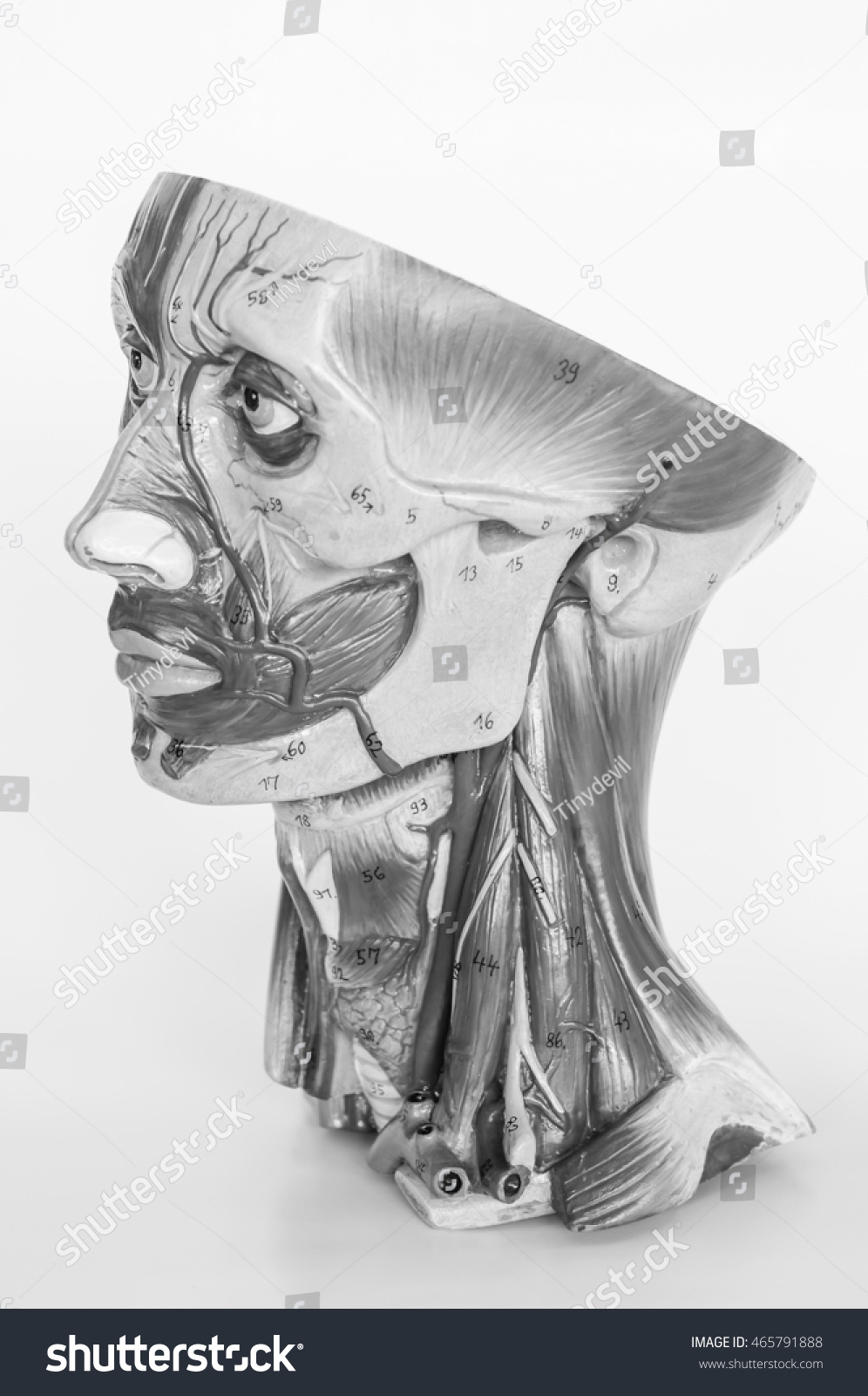 Royalty Free Face Muscle Anatomy With Black And 465791888 Stock