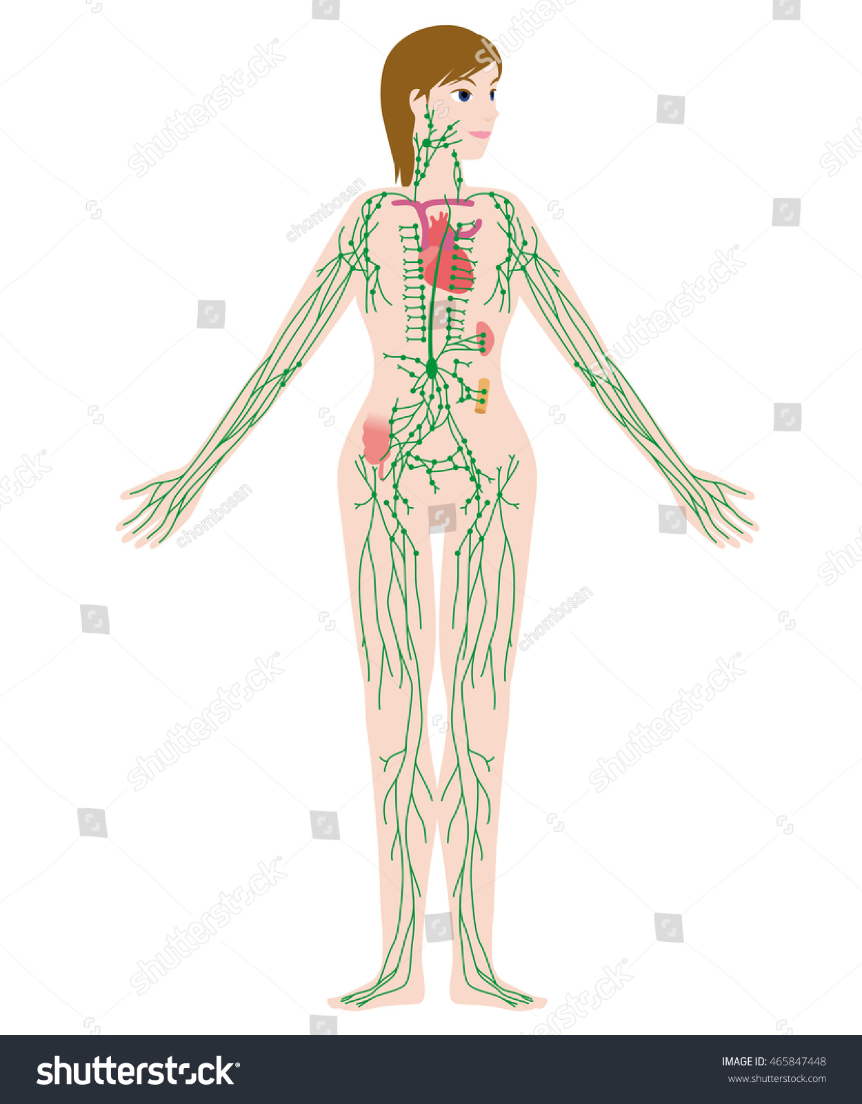 Womans Lymph System Anatomical Chart Vector Stock Photo Photo