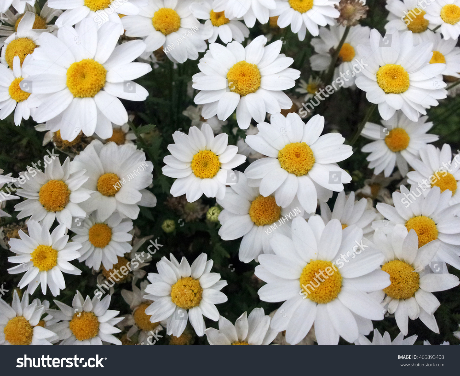 Be engulfed lovely parts pretty young stock photo image royalty be engulfed in lovely parts of a pretty young chrysanthemum izmirmasajfo