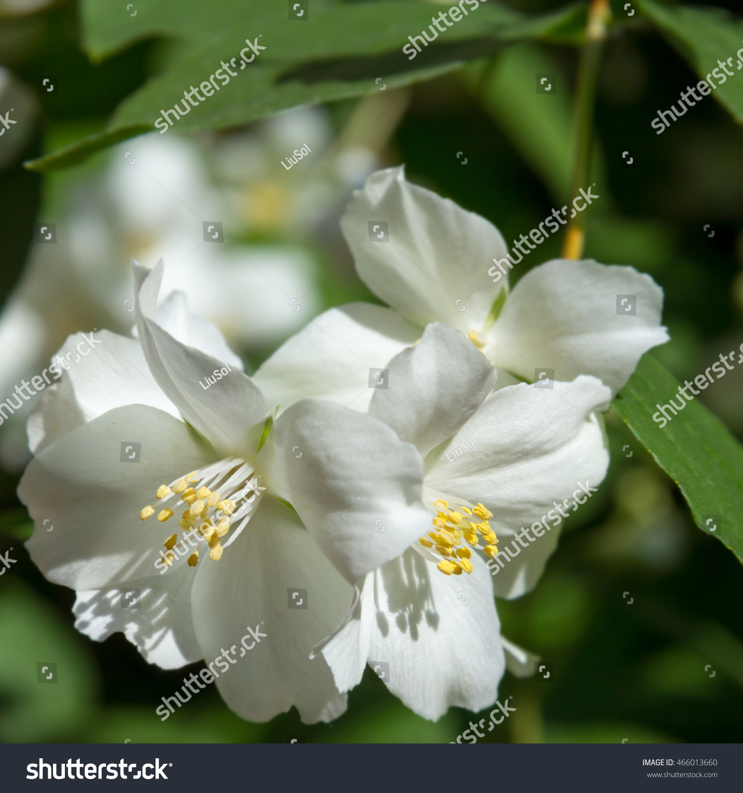 White Jasmine Flowers Grow On Branches Stock Photo Edit Now