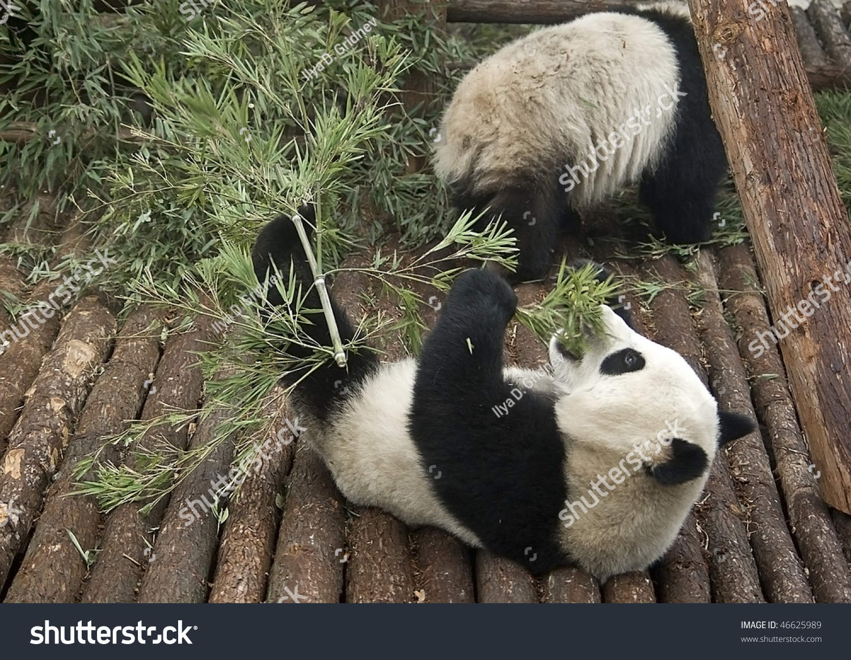 Baby Giant Pandas Eating Bamboo Shanghai Animals Wildlife Stock Image 46625989