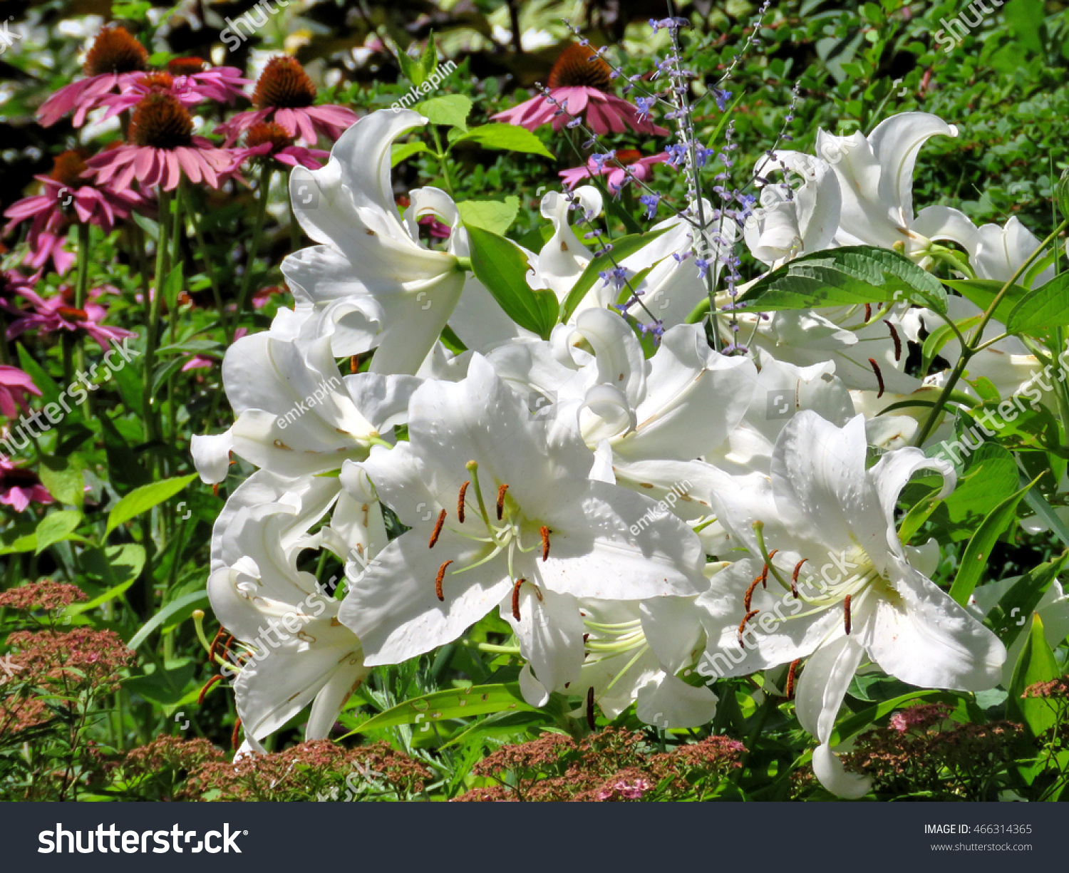 White Lily Flowers Garden On Bank Stock Photo Edit Now 466314365