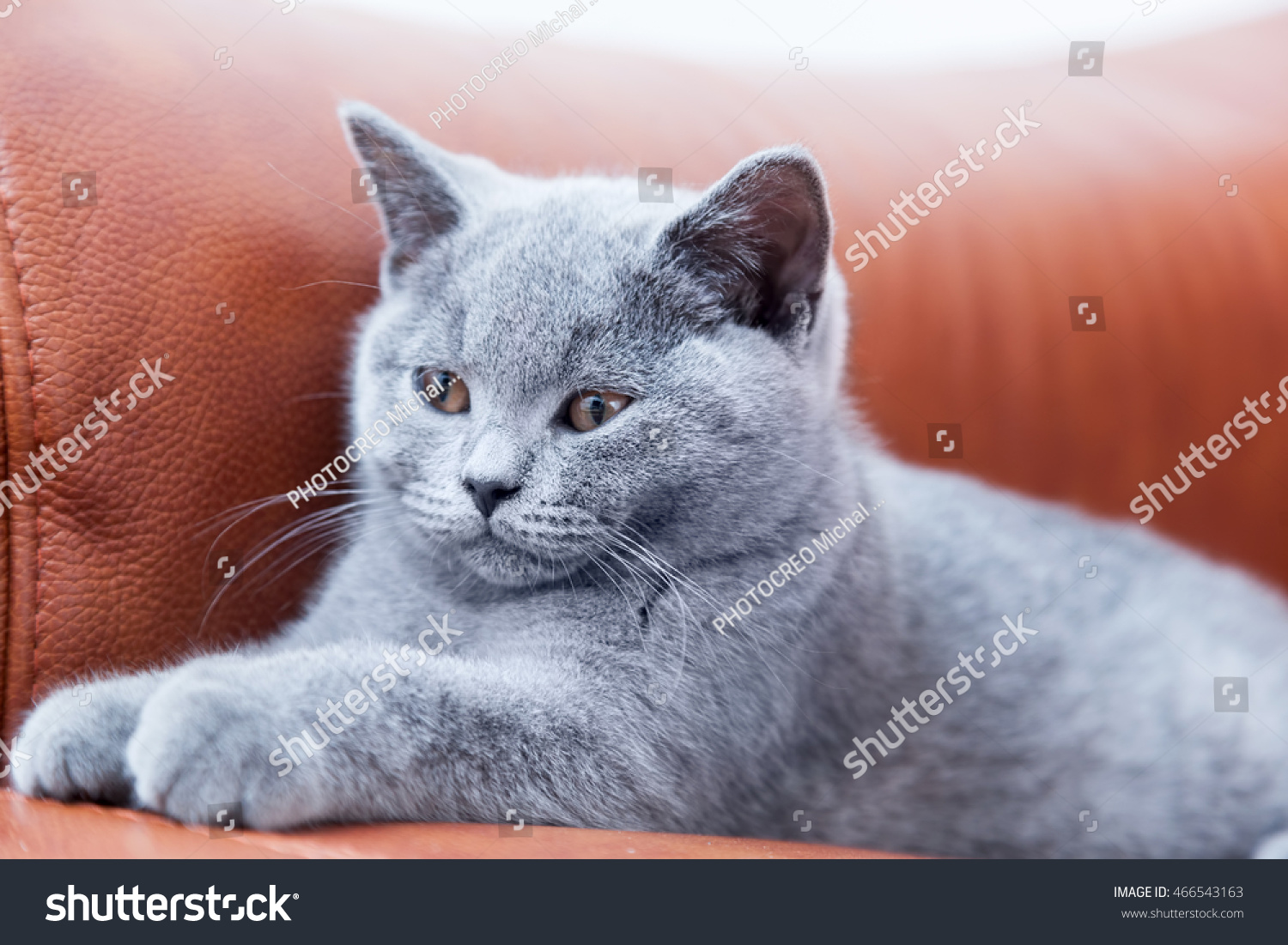 Young Cute Cat Resting Leather Stock Shutterstock