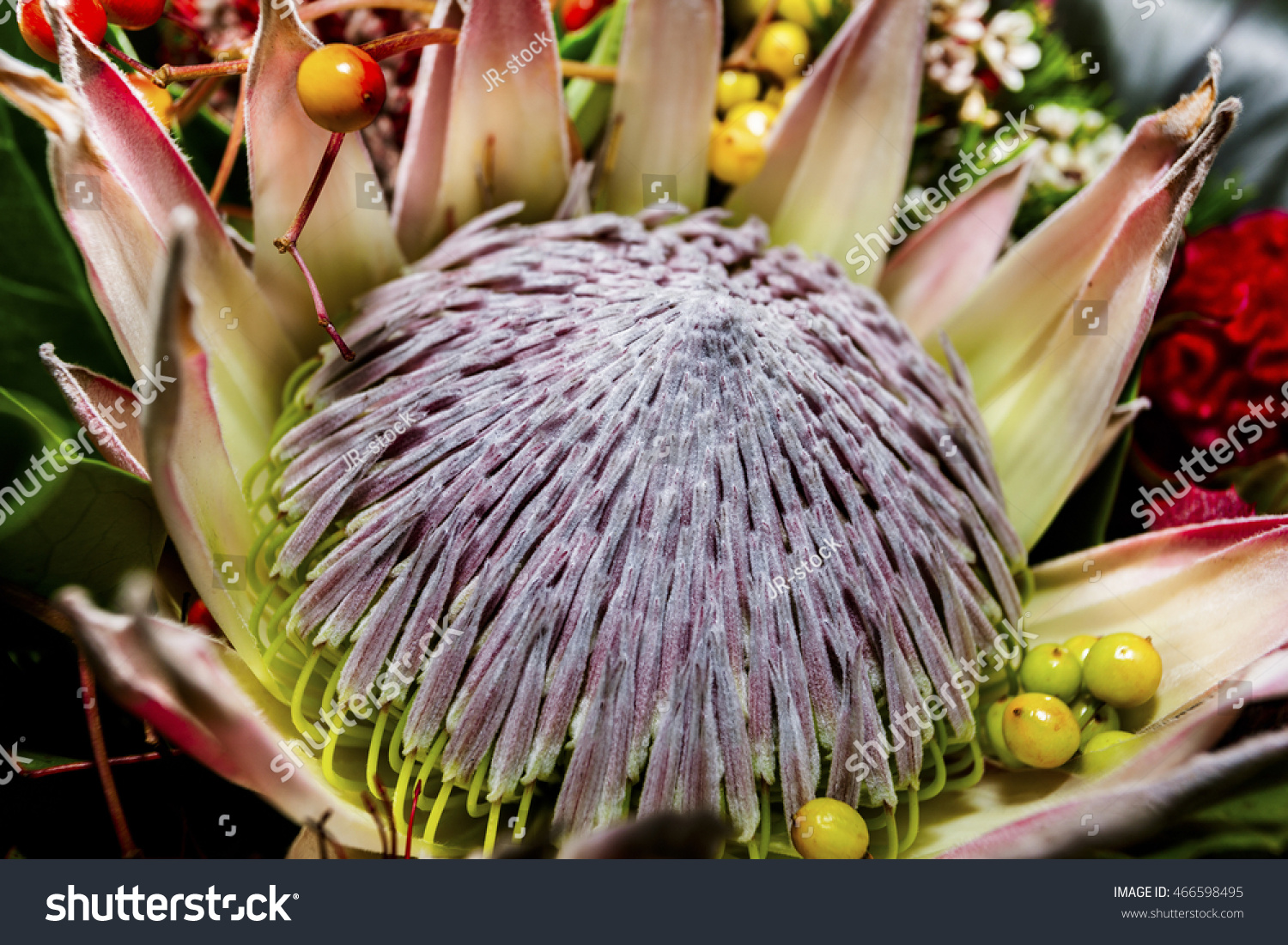 King protea flower close like lotus stock photo edit now 466598495 king protea flower close up like a lotus and calls the national flower of africa with izmirmasajfo