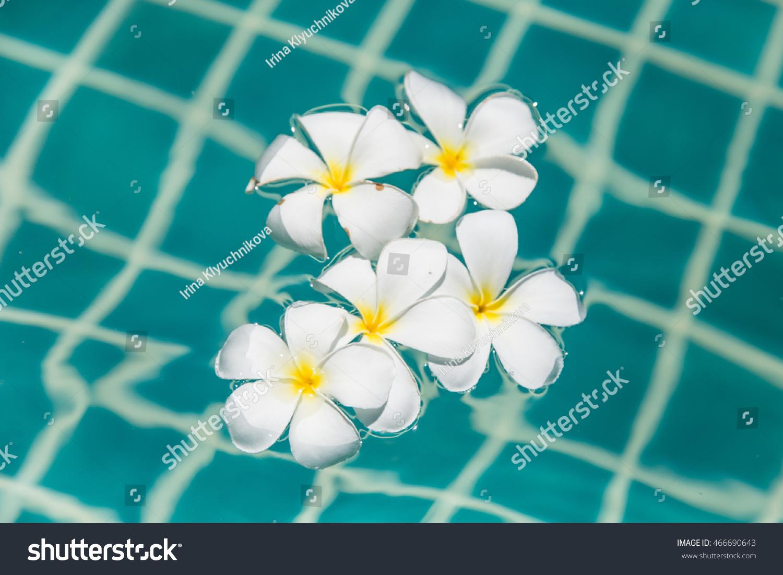 Tropical frangipani flower floating blue water stock photo edit now tropical frangipani flower floating in blue water flowers in pool izmirmasajfo