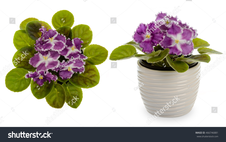 African Violet Saintpolia Decorative Ceramic Cache Stock Photo ...