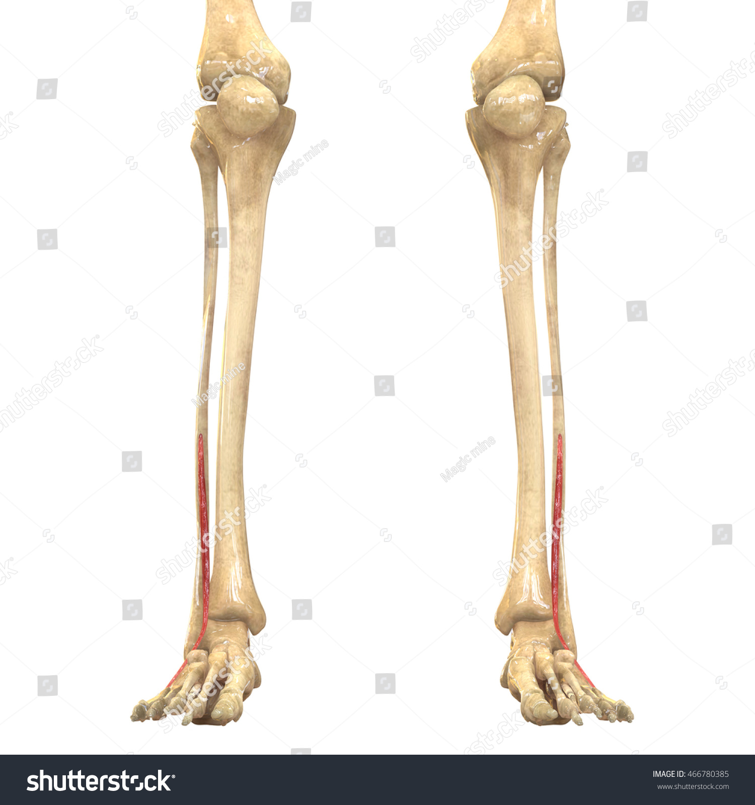 Human Body Muscles Anatomy Peroneus Tertius Stock Illustration