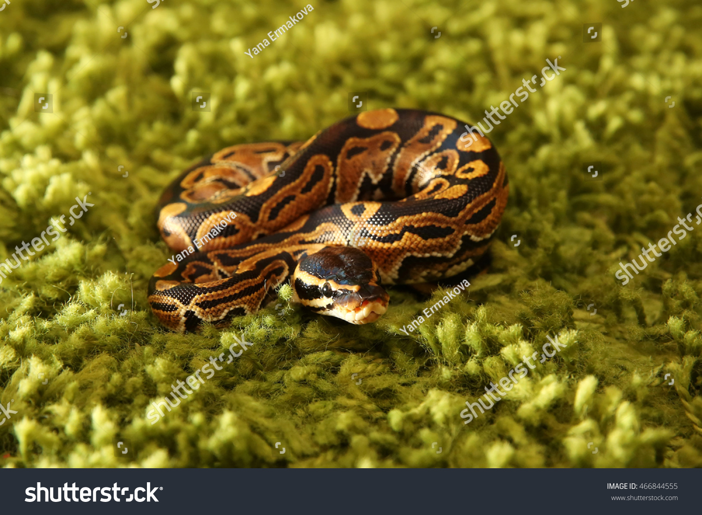 c823130175b Python Regius Snake Royal Ball Python Stock Photo (Edit Now ...