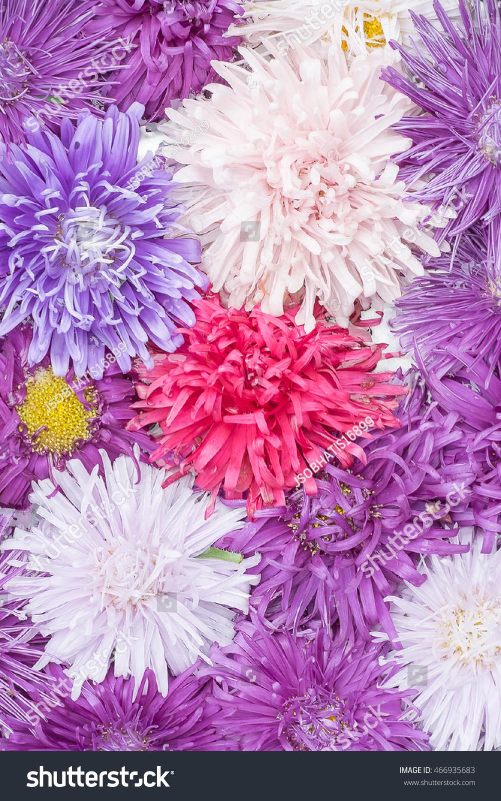The Aster Flower In One Of Flowering Plant In Daisy Familyusing For