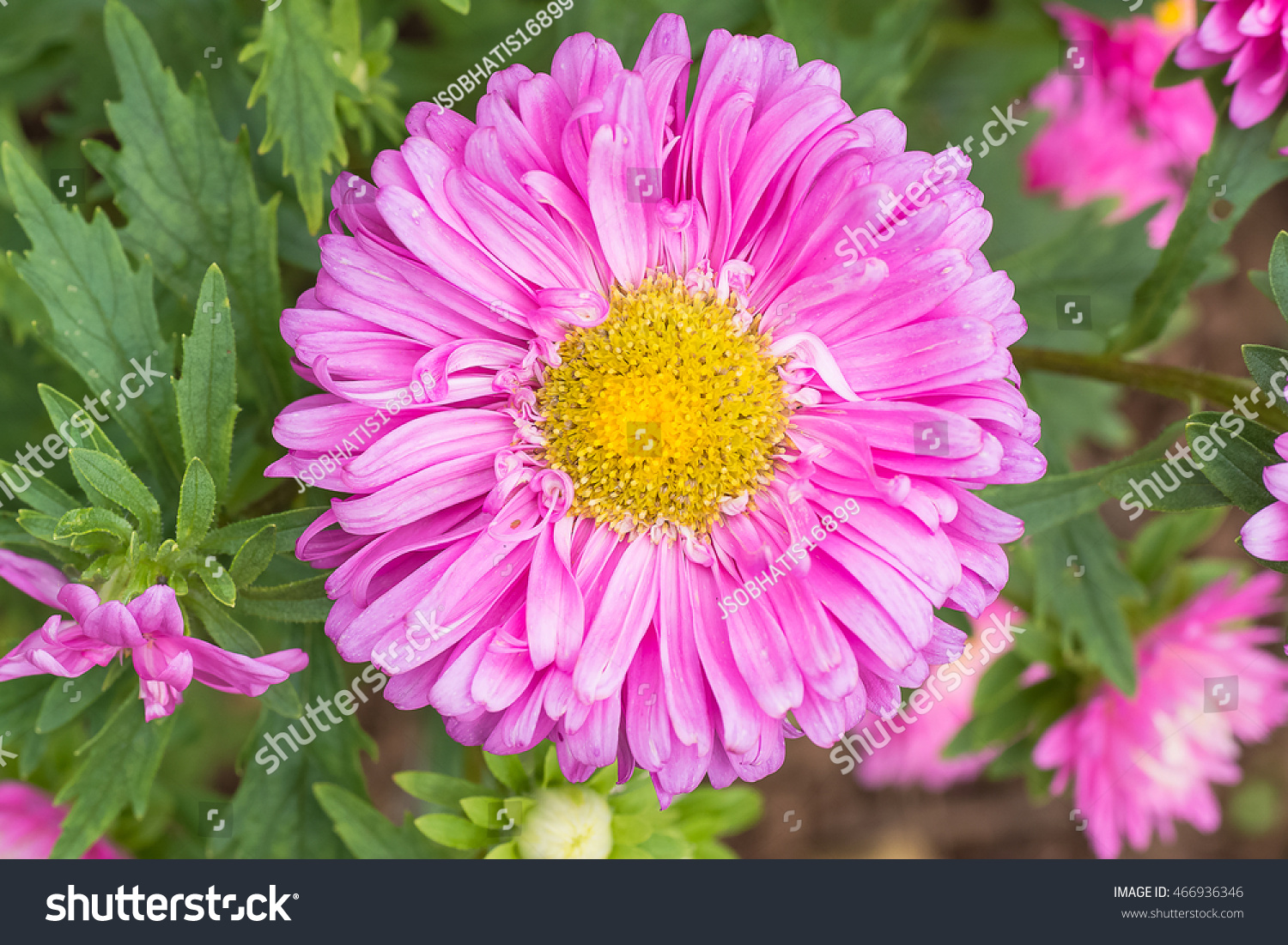 Aster flower one flowering plant daisy stock photo royalty free the aster flower in one of flowering plant in daisy familyusing for garden or izmirmasajfo Choice Image