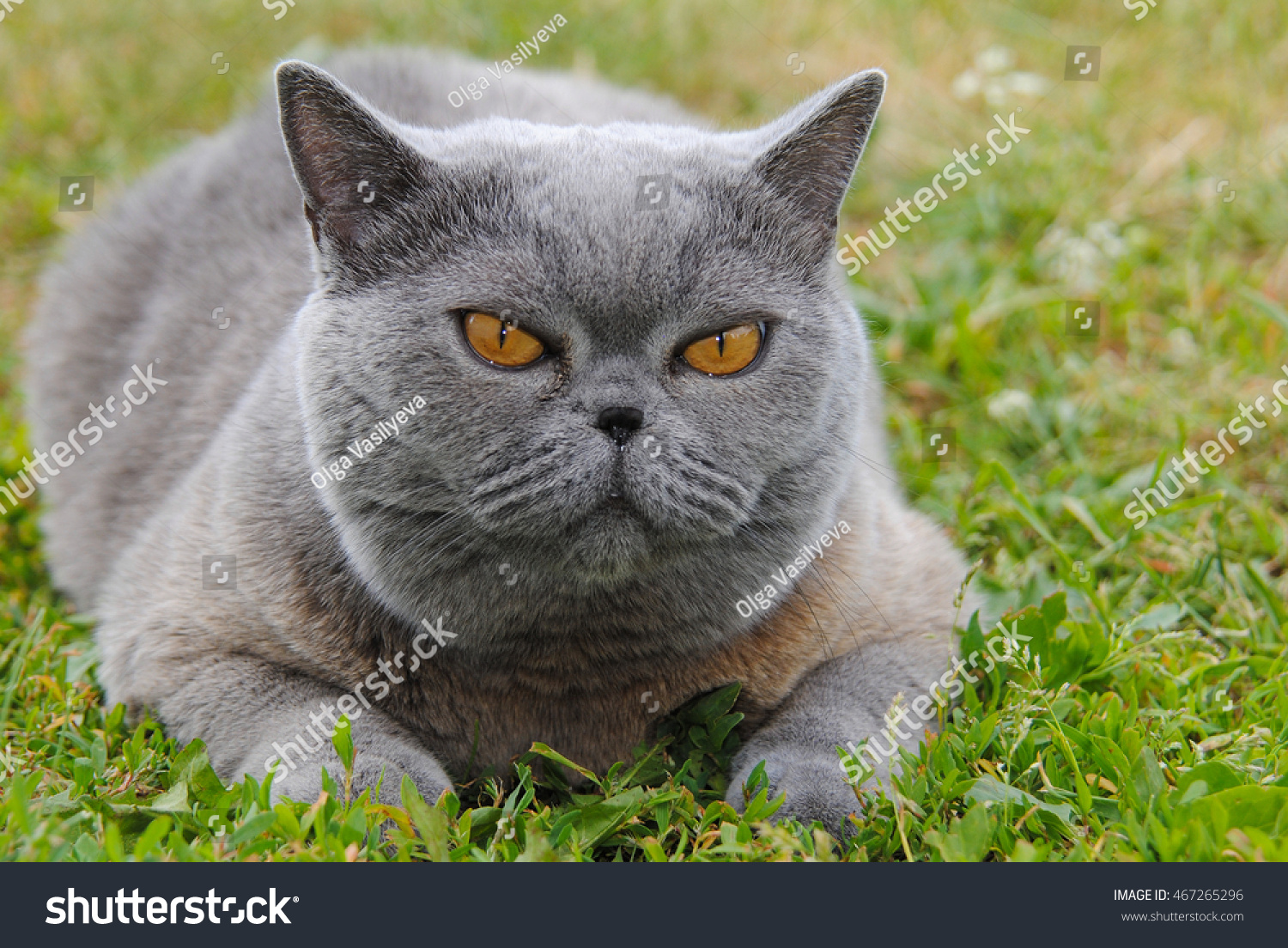 Grey Cat Adult Breed British Shorthair Stock