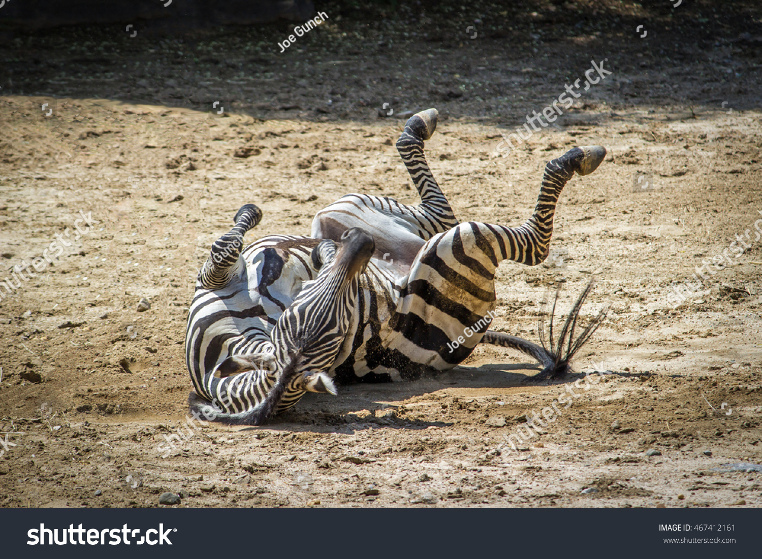 Zebra rolling on ground stock photo shutterstock