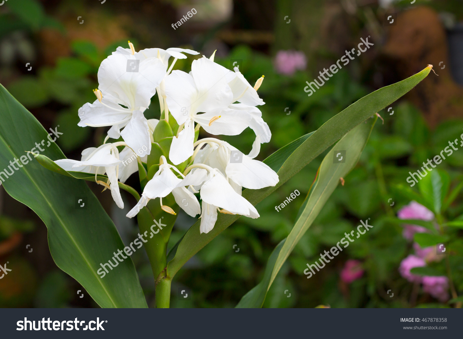 White ginger flowers called garland lily stock photo royalty free white ginger flowers it also called garland lily sweet white ginger or butterfly ginger this mightylinksfo