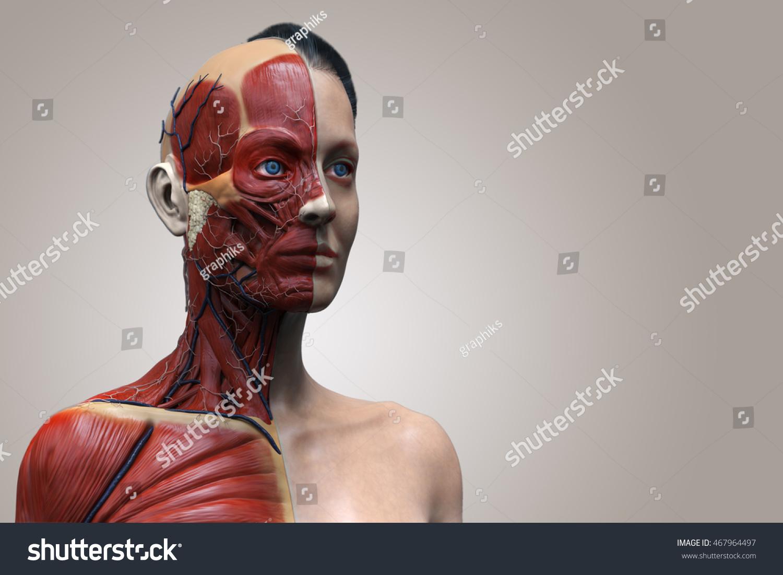 Isolated Human Anatomy Female Muscle Anatomy Stock Illustration