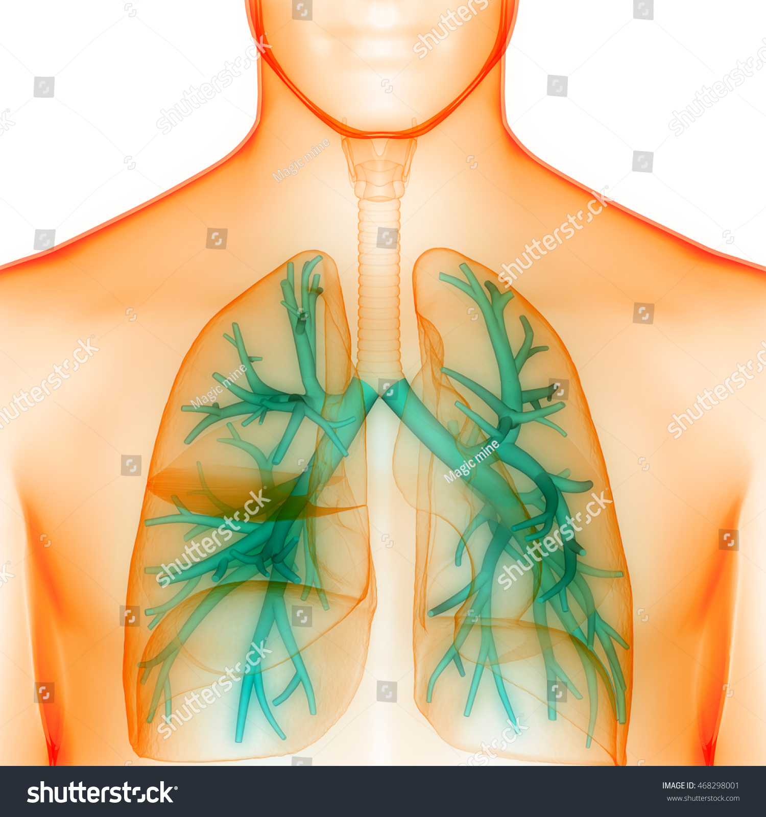 Human Lungs Inside Anatomy Larynx Trachea Stock Illustration ...