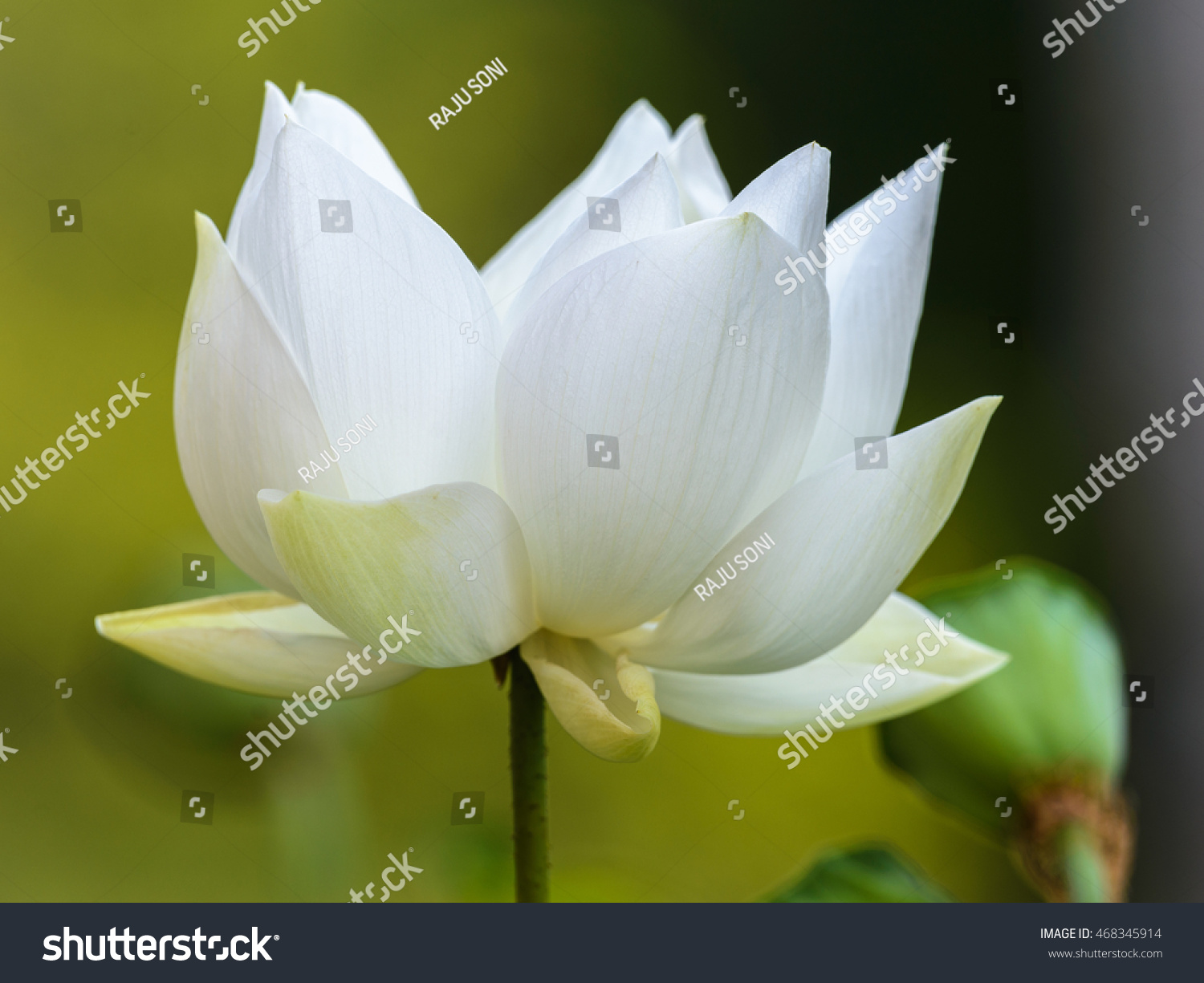American Lotus Nelumbo Lute Yellow Lotus Stock Photo Royalty Free