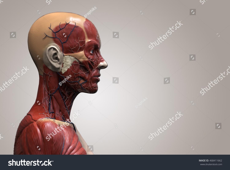 Royalty Free Stock Illustration Of Head Torso Anatomy Female Human