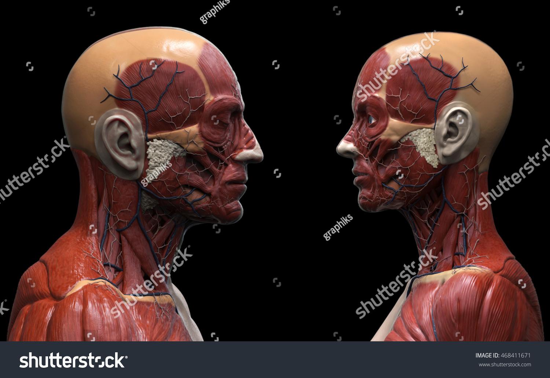 Human Anatomy Background Male Female Muscle Stock Illustration