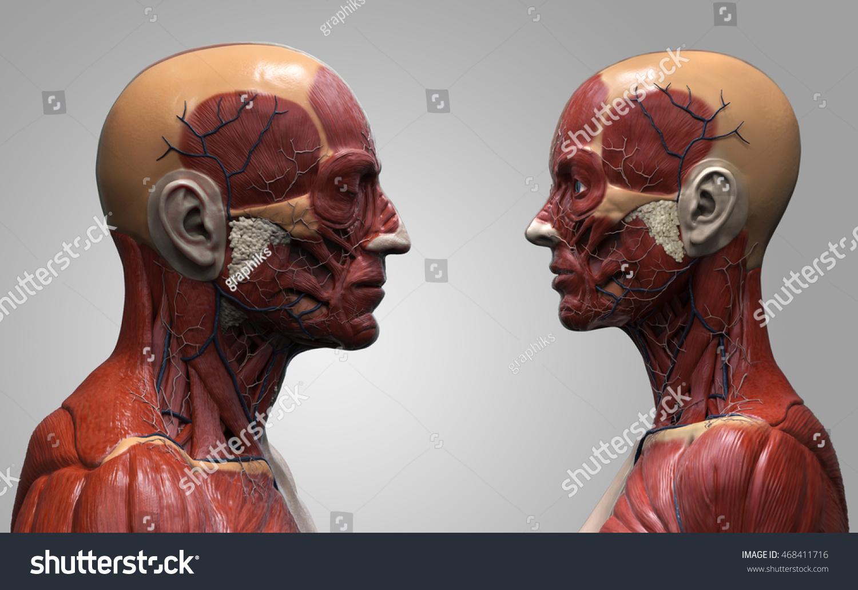 Human Anatomy Background Male Female Muscle Stock Illustration ...
