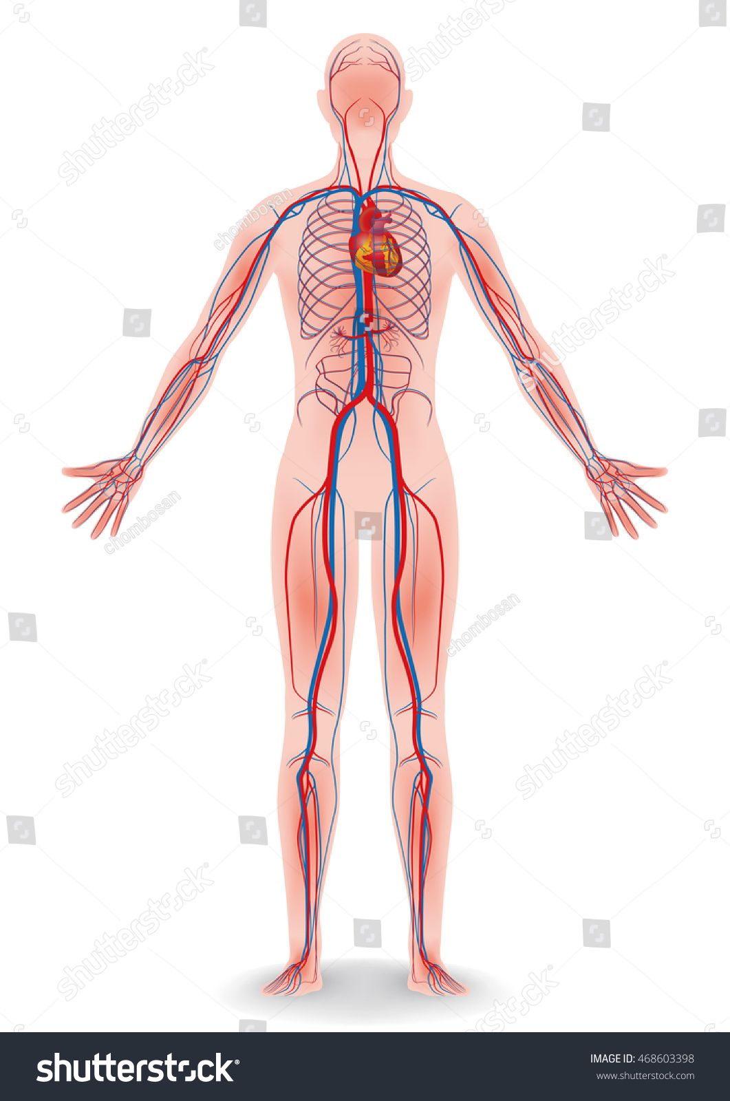 Human Body Circulatory System Vector Diagram Stock Vektorgrafik