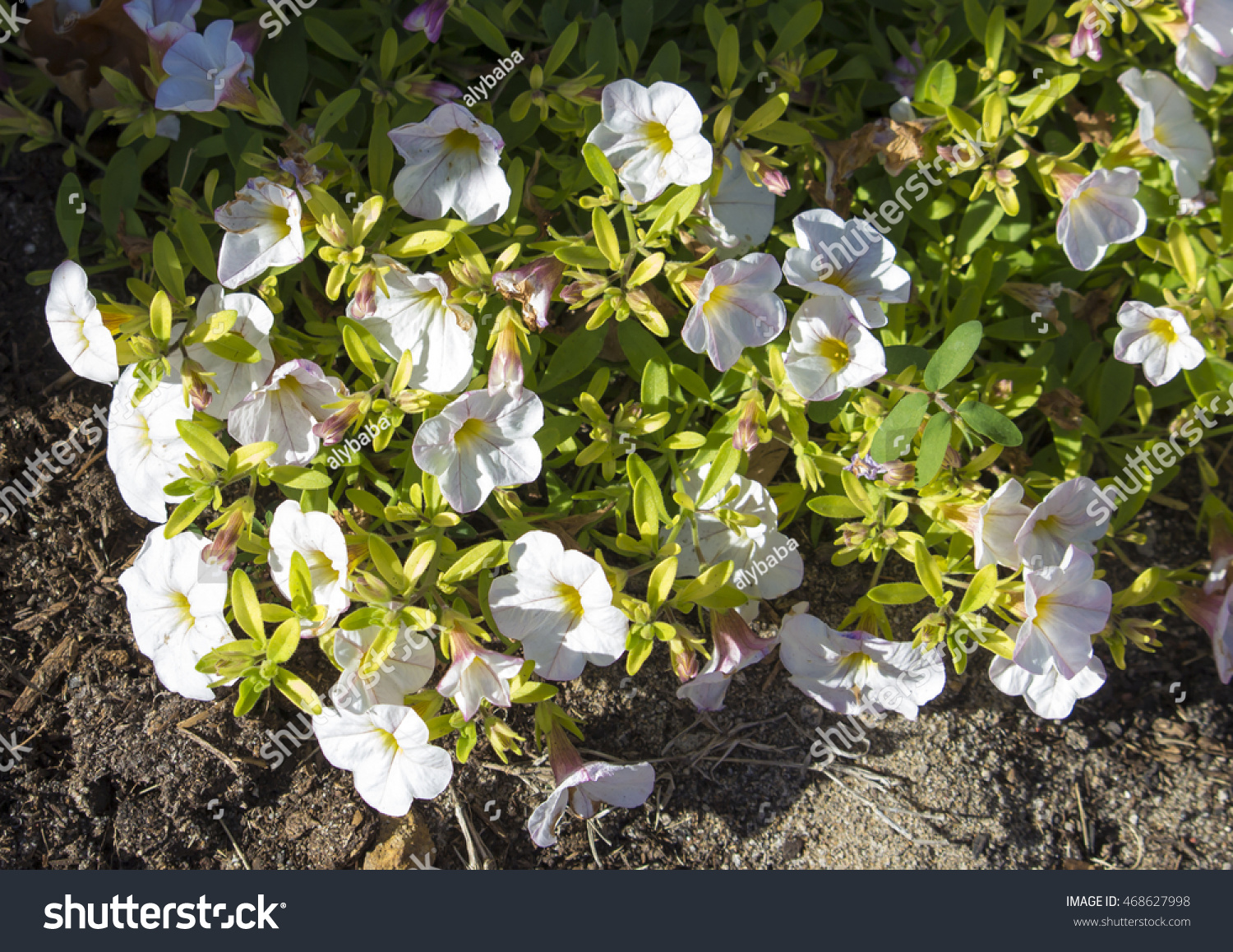 White Perennial Petunias Add Bright Pop Stock Photo 100 Legal