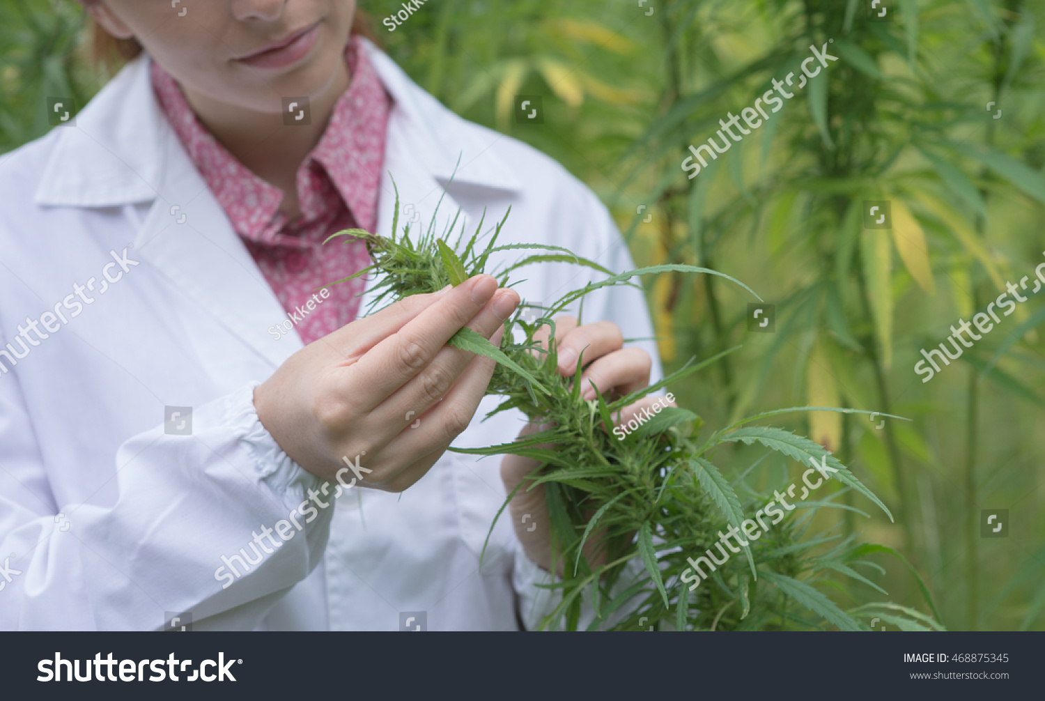 Female scientist in a hemp field checking plants and flowers alternative herbal medicine concept