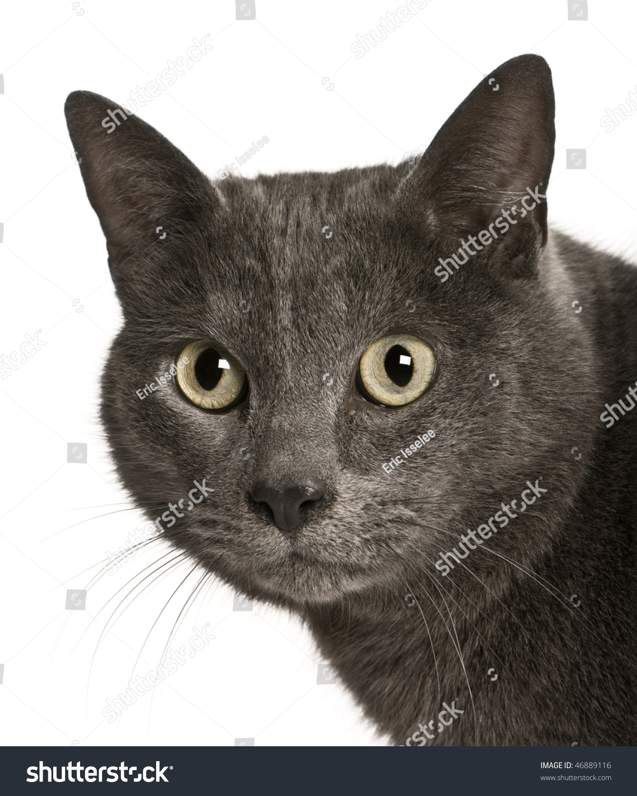 Chartreux Cat 2 Years Old Front Stock Shutterstock