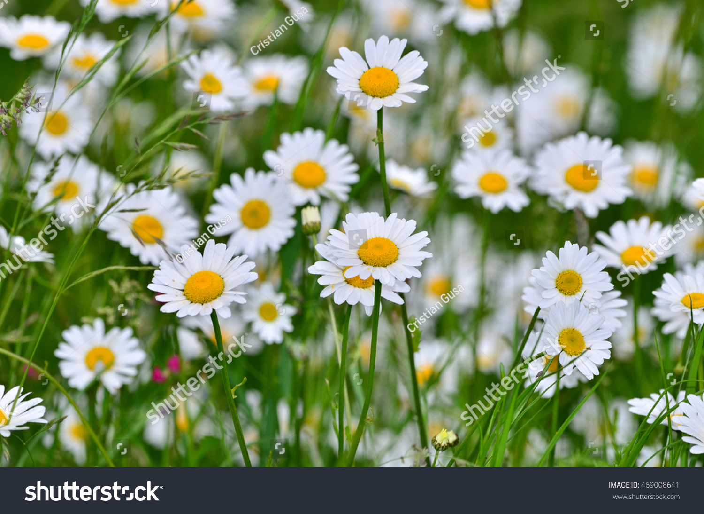 Field Daisy Flowers Dasy Background Stock Photo Edit Now 469008641