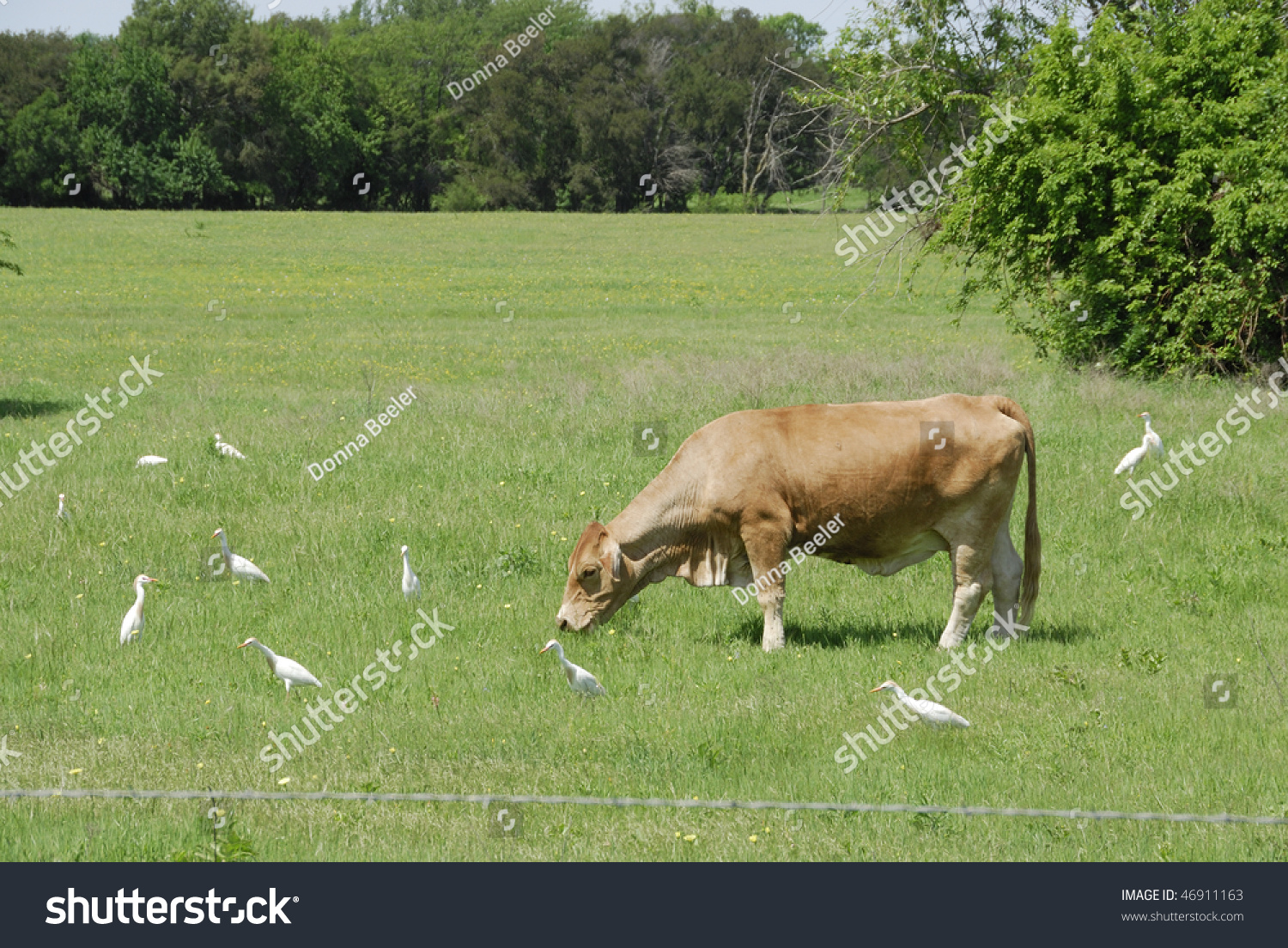cattle egret and grazing relationship tips