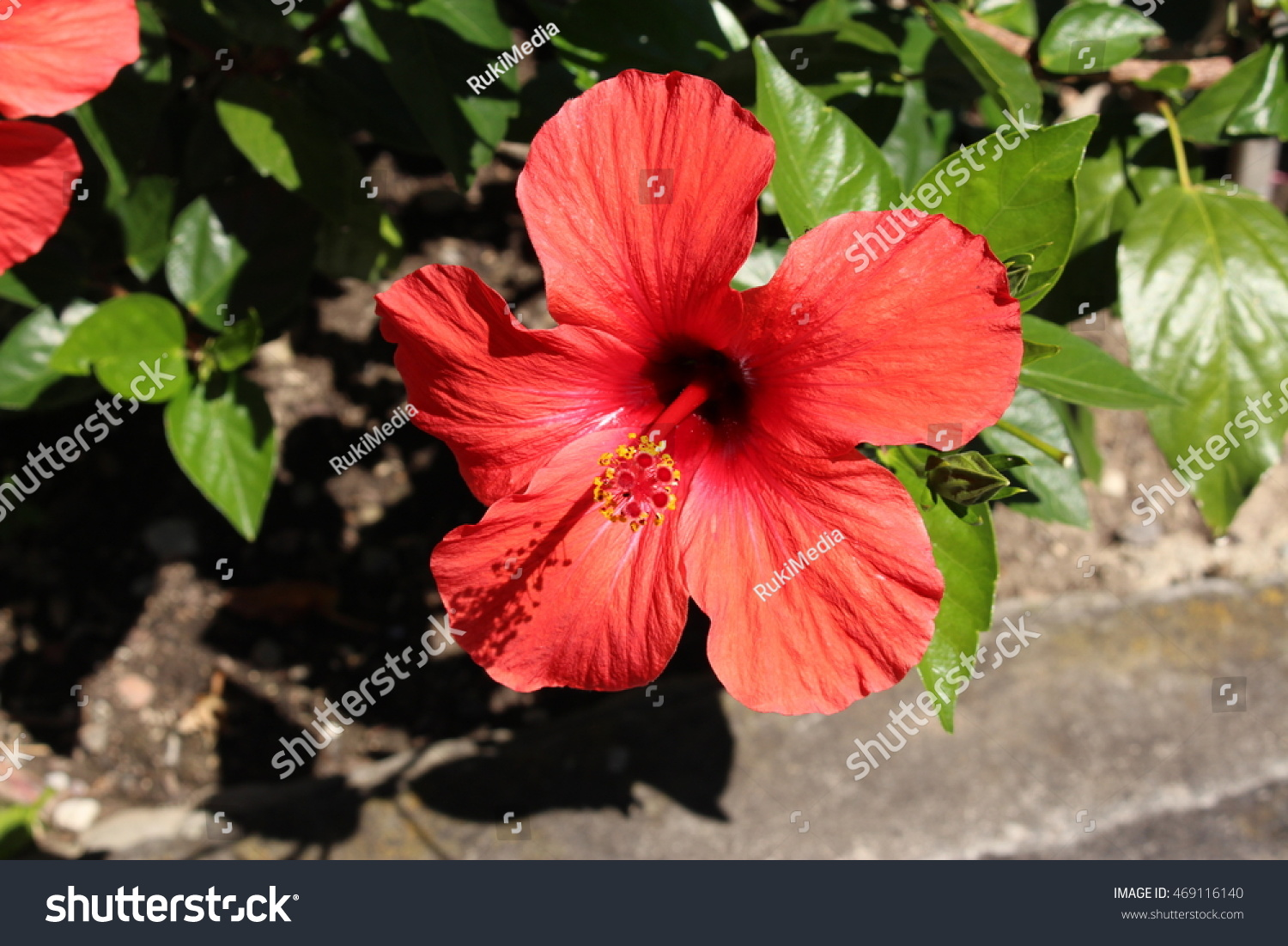 Red chinese hibiscus flower or china stock photo edit now red chinese hibiscus flower or china rose hawaiian hibiscus shoeblackplant izmirmasajfo