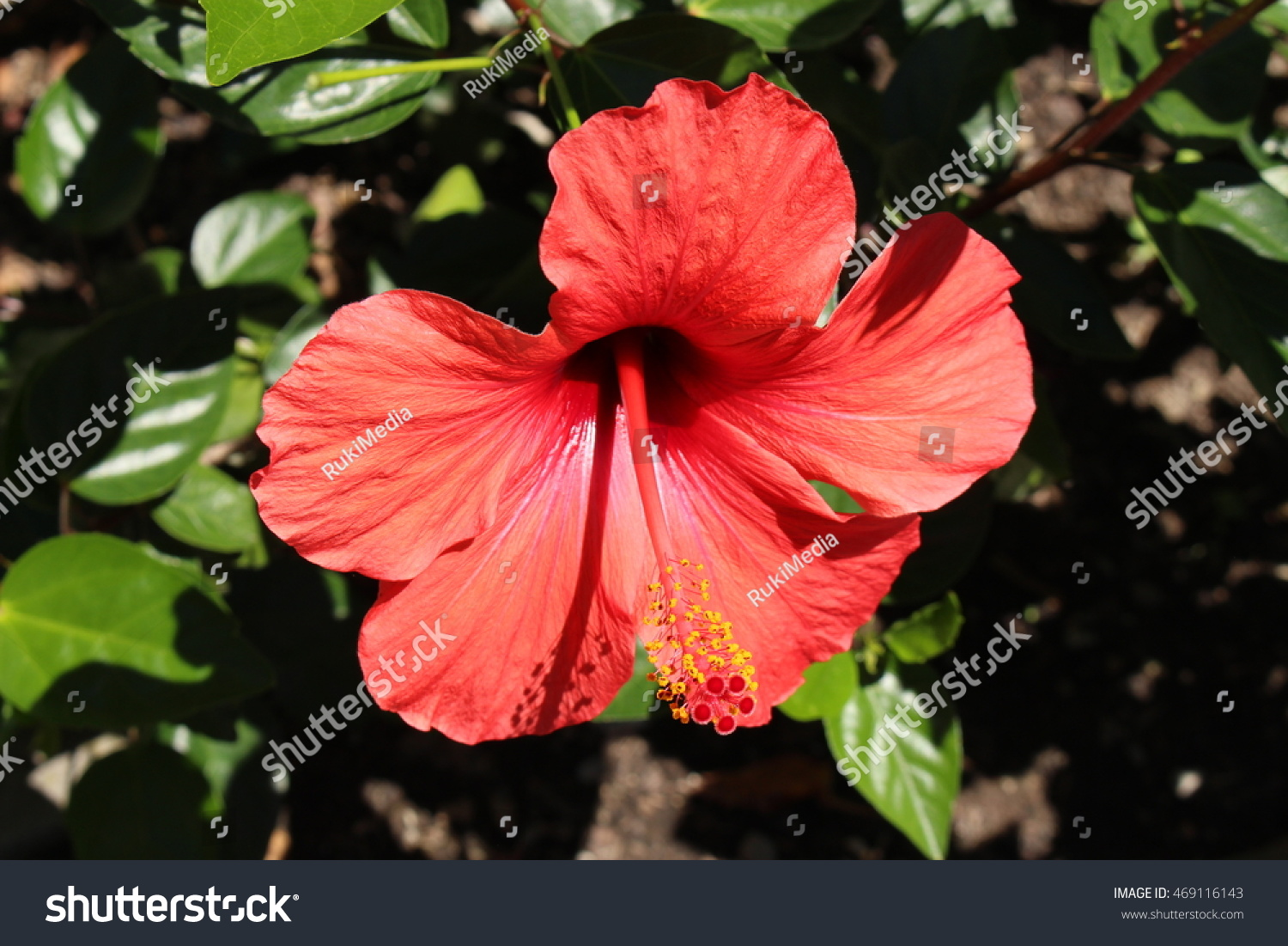 Red Chinese Hibiscus Flower Or China Stock Photo Edit Now