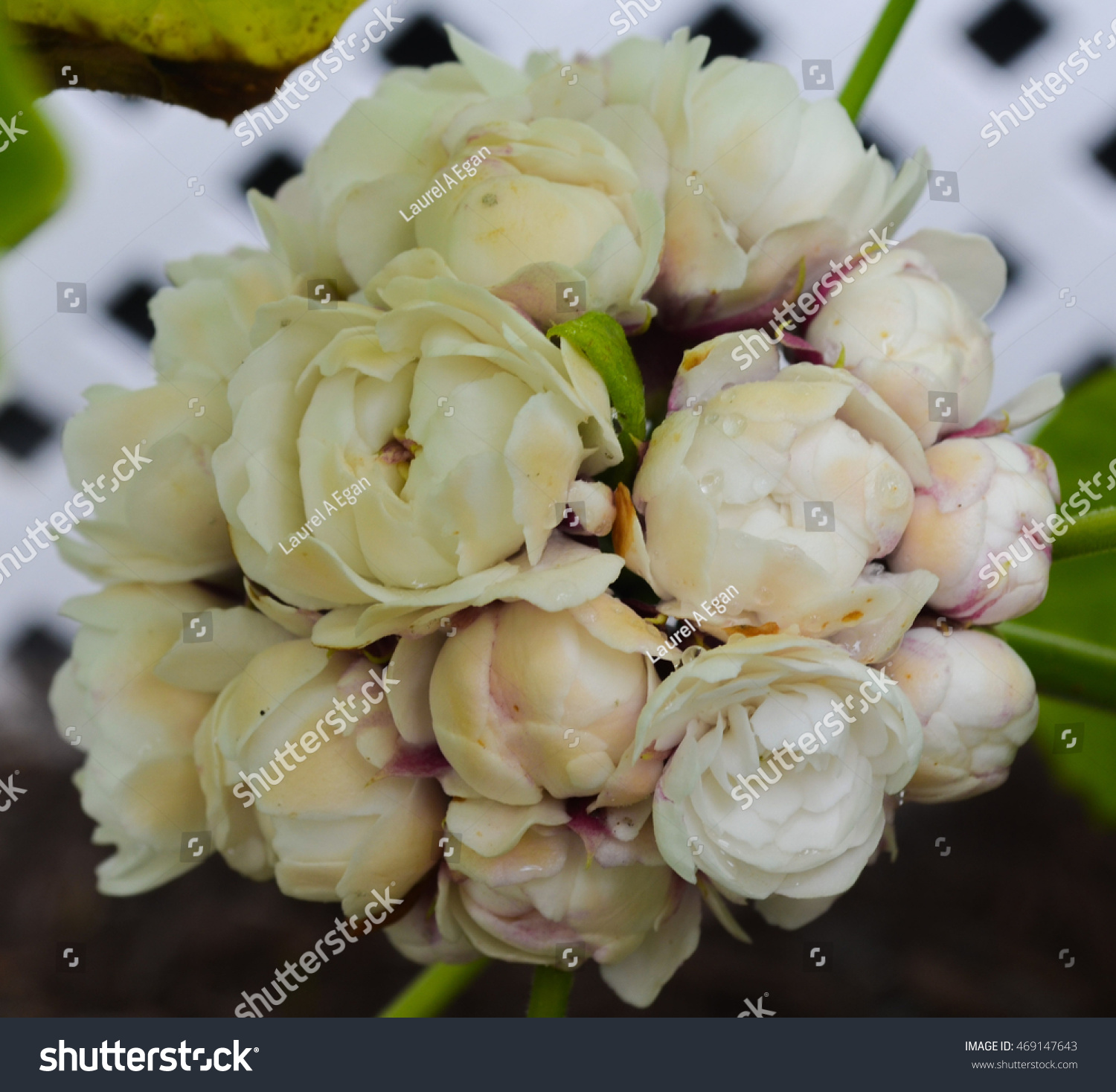 Cashmere Bouquet Stock Photo (Royalty Free) 469147643 - Shutterstock
