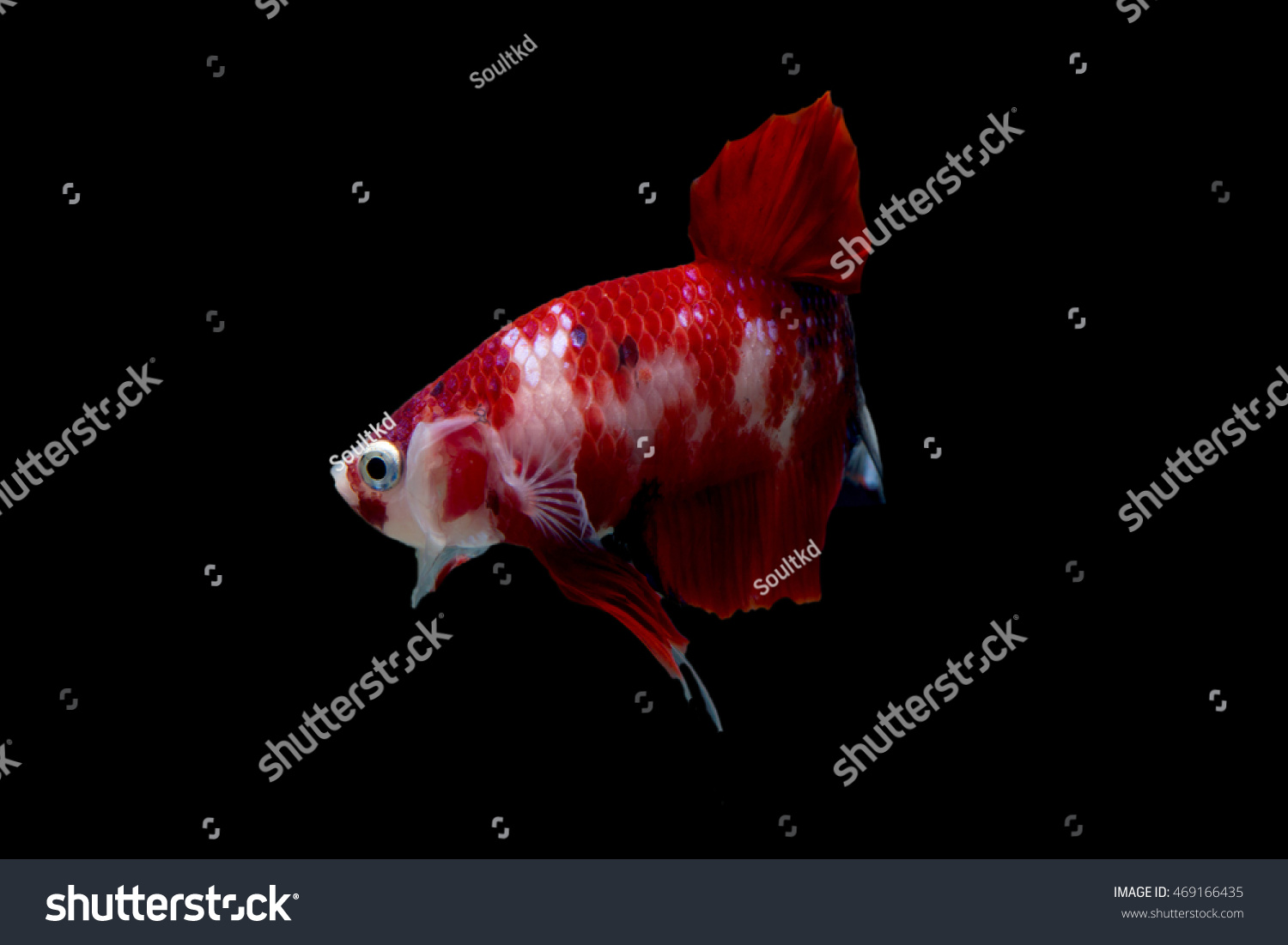 Red Cute Betta Fish Short Tail Stock Photo (Royalty Free) 469166435 ...