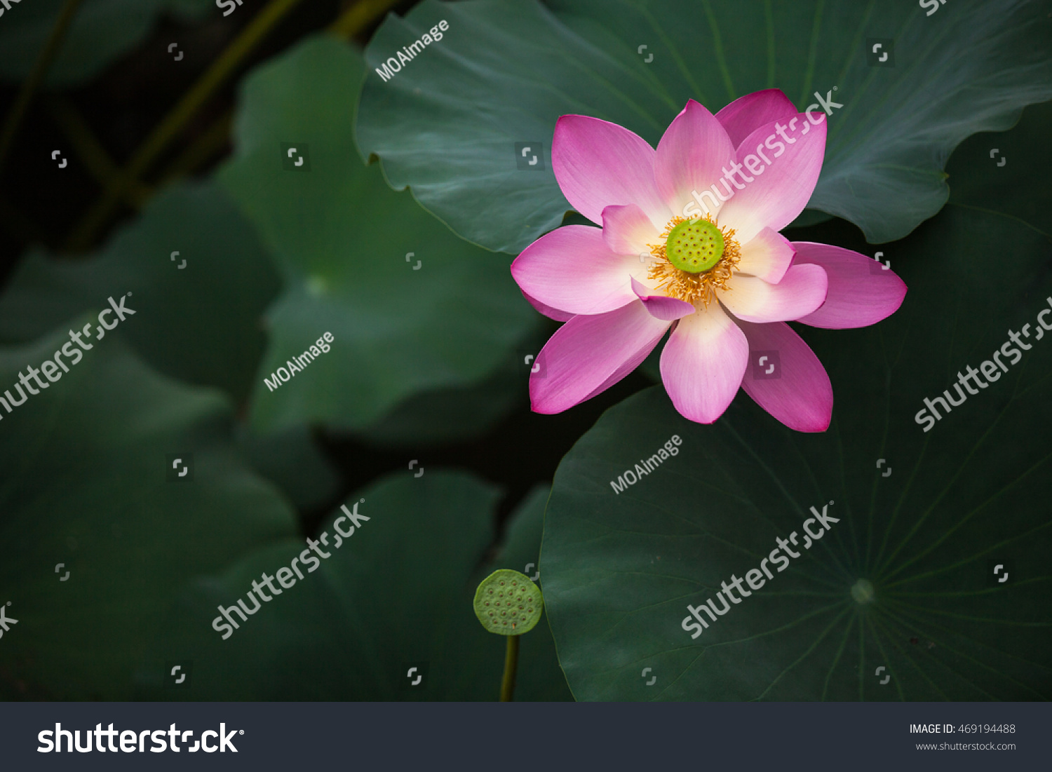 Royalty-free This beautiful lotus flower is… #469194488 Stock Photo ...