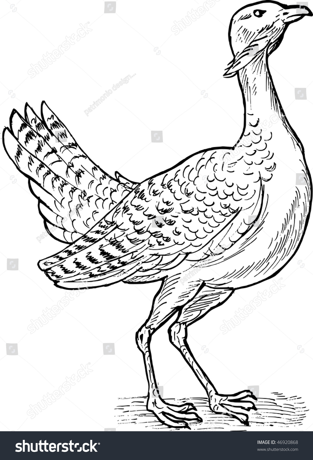 hand sketch drawing illustration of the great bustard bird