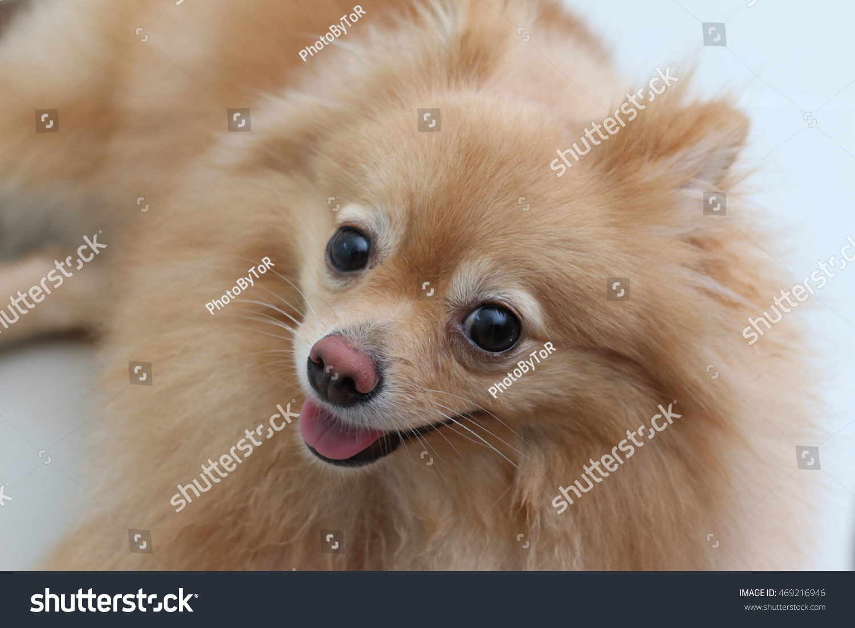 Cool Pomeranian Brown Adorable Dog - stock-photo-cute-dog-pomeranian-pets-469216946  Graphic_53179  .jpg