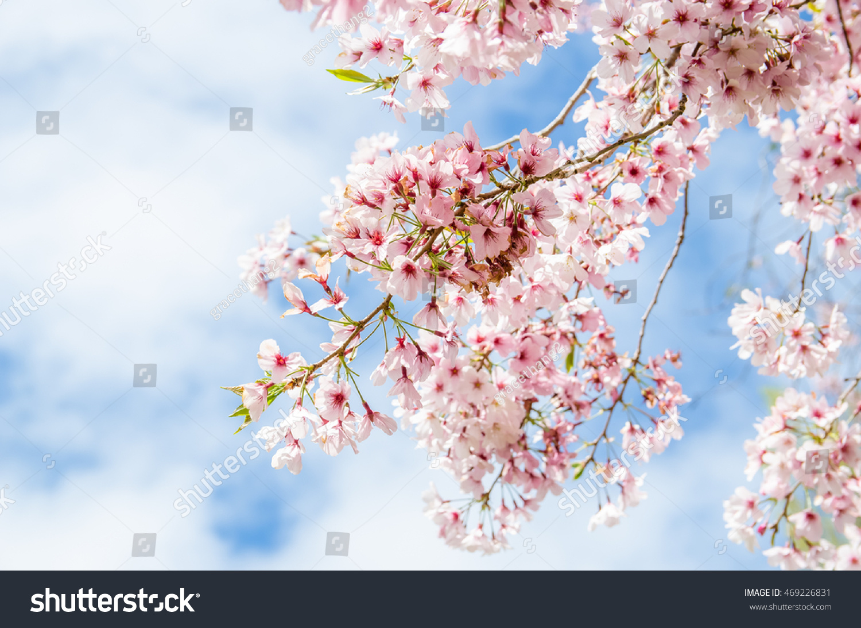 Spring Sakura Cherry Blossom In New Zealand Ez Canvas
