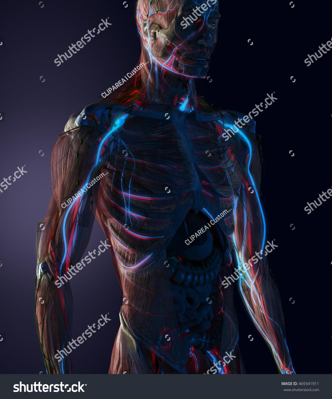 Man Anatomy Visible Cardiovascular System Veins Stock Illustration ...