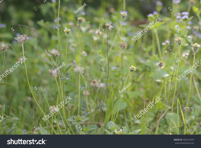 Royalty Free Beautiful Single Flower Grass Tridax 469414670