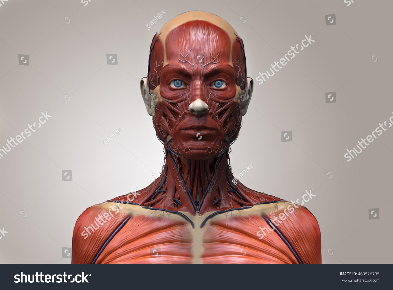 Human Anatomy Female Anatomy Head Neck Stock Illustration 469526795 ...
