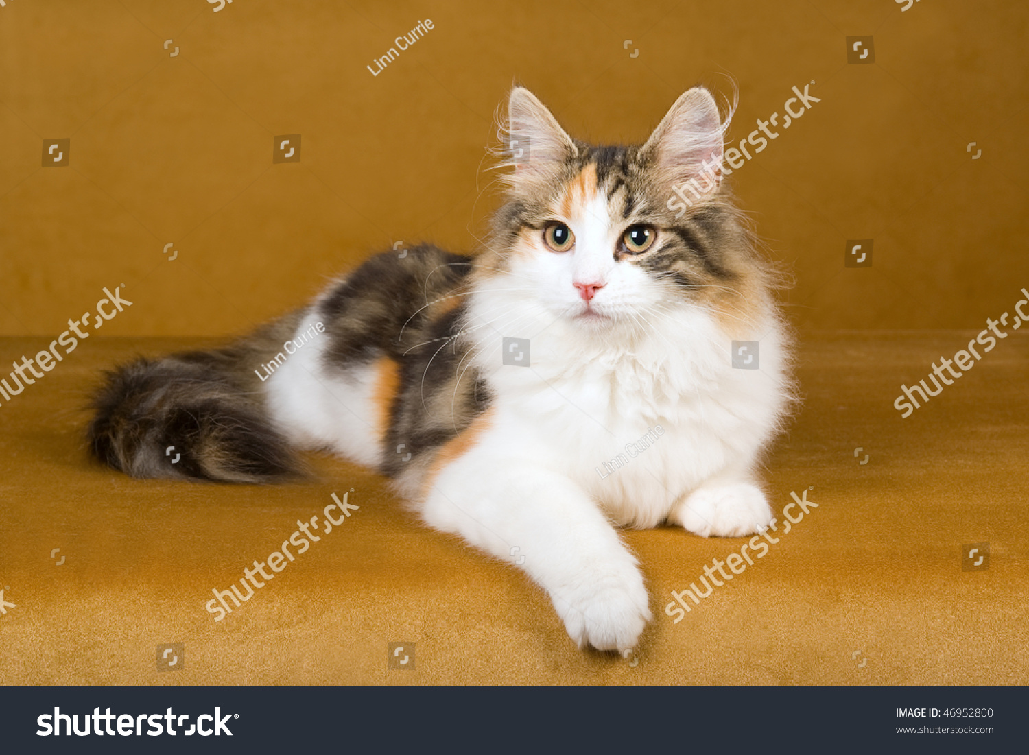 Beautiful Calico Norwegian Forest Cat On Stock Photo ...