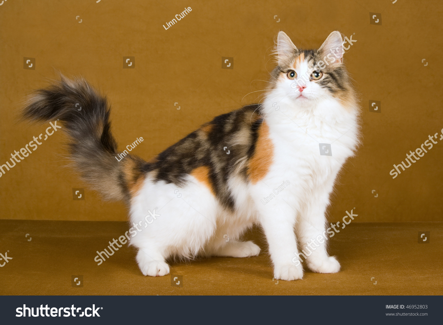 Beautiful Calico Norwegian Forest Cat On Gold Background ...
