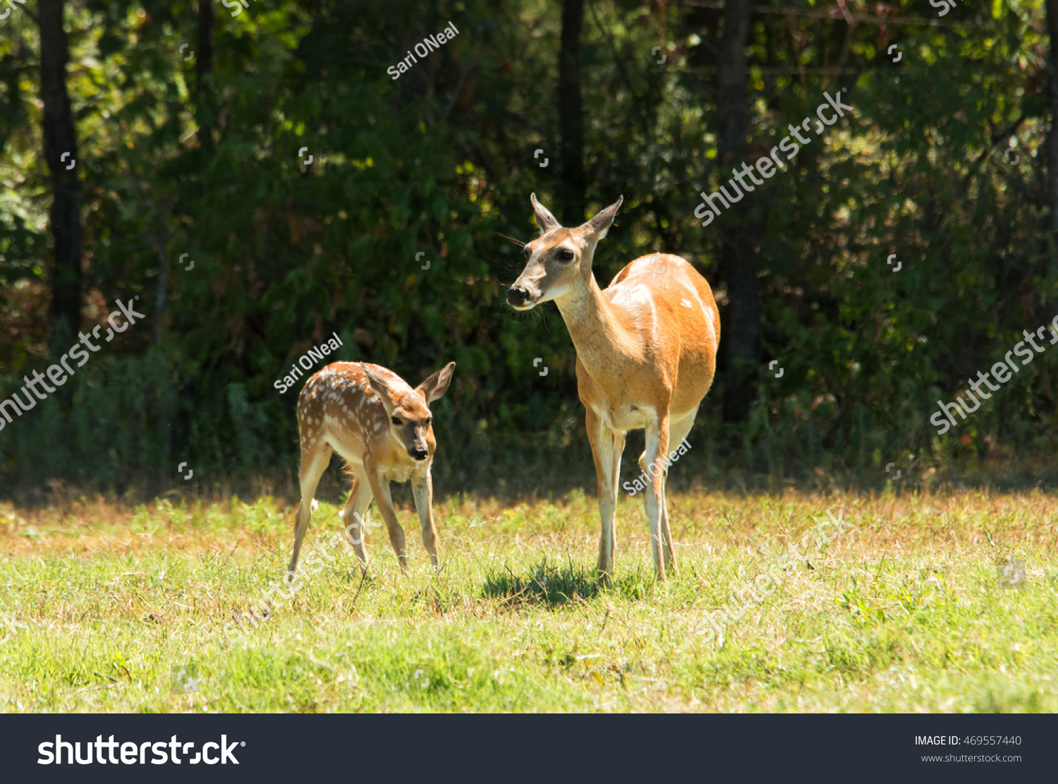 stock-photo-white-tailed-deer-doe-and-fa