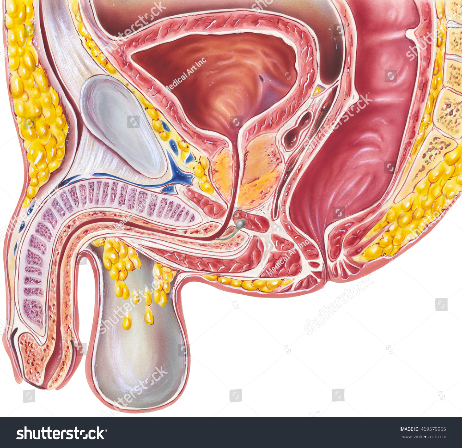 Urinary System Male Cross Section Anatomy Stock Illustration