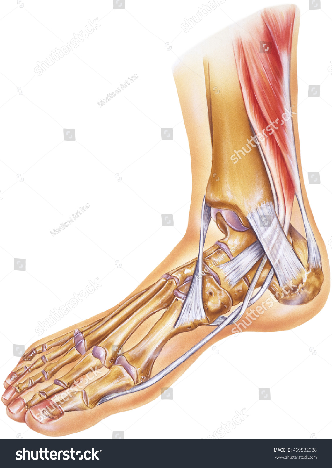 Foot Ankle Tendons Ligaments Joints Bones Stock Illustration ...